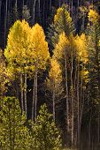 Beautiful autumn setting in Vail, Colorado ski resort showing the orange colors of the aspen trees