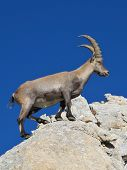 Master Climber Alpine Ibex