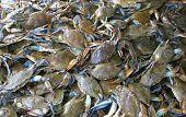 Live Crabs
