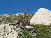 Lazy Alpine Ibex