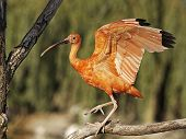 stock photo of scarlet ibis  - Scarlet Ibis sitting on a tree branch - JPG