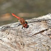 Odonata (dragonfly)