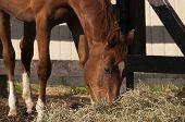 Chestnut Horse Eating