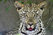 Young Leopard portrait