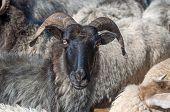Moorland Sheep,Lueneburg Heath,Germany