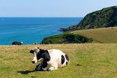 stock photo of sea cow  - Cow in a field and view of the Cornish coast in Cornwall England UK - JPG