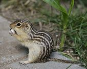 Thirteen-Lined Ground Squirrel Feeding