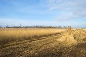 Bundled common reed on a field in winter