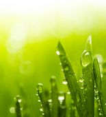 Dew on a fresh green grass