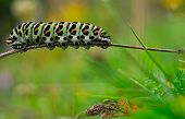 Artistic photography with colorful caterpillar, Papilio machaon.