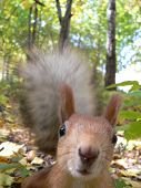 image of tail  - squirrel - JPG