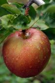 Rainy Apple