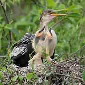Female American Anhinga With Young At Nest - Everglades National Park, Florida