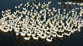 foto of avian flu  - Herd of duck swimming on water they let wander in nature this is danger to infect with flu virus as H5N1 H7N9 - JPG
