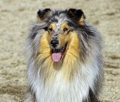 collie marble
