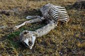 Skeleton Of A Guanaco, Near Parque Nacional Torres Del Paine, Chile