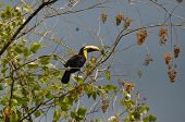 picture of toucan  - Green Toucan In Osa Peninsula - JPG