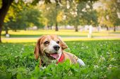 The Cutest Beagle Puppy Dog Lying In The Grass