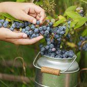 Blueberries - girl picking fresh blueberries in the garden