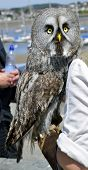Great Gray Owl Latin name Strix nebulosa