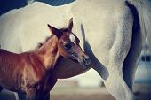 pic of foal  - Foal with a mare - JPG