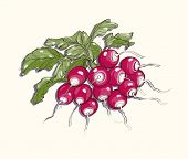 Vector Illustration Of Radish