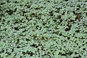 Colony Of Pilea Glauca (angel Tears, Tara)