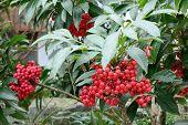 Closeup Of Red Berry Of Ardisia Crenata