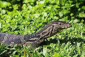 Monitor Lizard ( Varanus Salvator ) Live In The Lumpini Park In Bangkok, Thailand