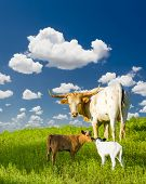 foto of texas-longhorn  - Female Longhorn cow grazing in a Texas pasture with her baby calves - JPG