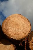 stock photo of pinus  - Pinus Radiata logs cut stacked and ready to be sorted at the logging site - JPG