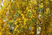 Autumn Foliage Of Birch