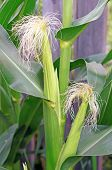 Blooming Corn In The Garden Close Up