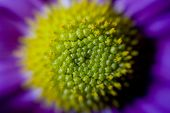 Soft Focus Close Up / Macro of a Single Green and Purple Gerbera Flower