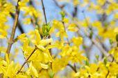 Closeup Of Forsythias Flowers In Full Bloom