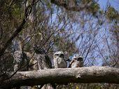 Tawny Frogmouth  birds