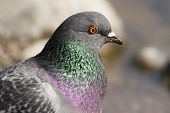 common dove