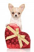 foto of chiwawa  - Chihuahua puppy with a gift in front of white background - JPG