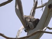 foto of eucalyptus trees  - Koala  - JPG