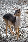 Roe Deer In Nature