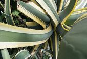 picture of spiky plants  - twisted leaves of an Agave americana plant - JPG