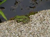 A green water frog at the waterfront