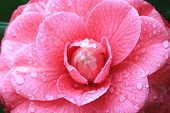 stock photo of raindrops  - Camellia flower and raindrop - JPG