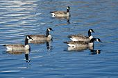 Flock Of Geese Resting On A Winter Lake