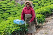 Munnar, India - February 18, 2013: An Unidentified Indian Woman Showing Harvesting At Tea Plantation