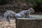 Squirrel On Stump