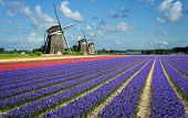 stock photo of windmills  - Purple and pink hyacinth flowers in front of three windmills in the Bulb Region in Holland - JPG