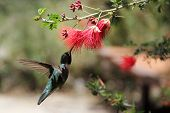 pic of hummingbirds  - Flying Hummingbird drinks nectar from red flower - JPG