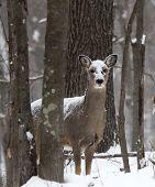 White-tailed doe deer