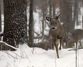 White-tailed fawn deer